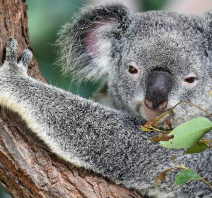 nieznane-ciekawostki-o-misiach-koala