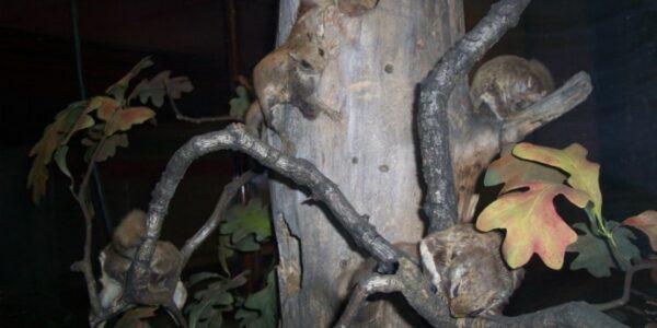 polatucha,-czyli-latajaca-wiewiorka