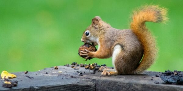 jak-wiewiorka-przygotowuje-sie-do-zimy?