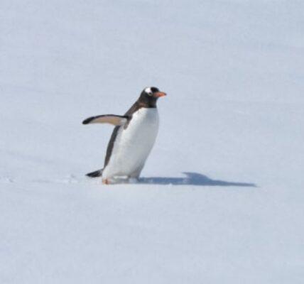 zeby-i-piora-u-pingwina