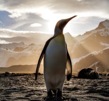kolana-u-pingwinow