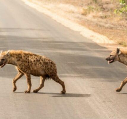 hiena-ciekawostki-–-co-jedza-i-gdzie-zyja?