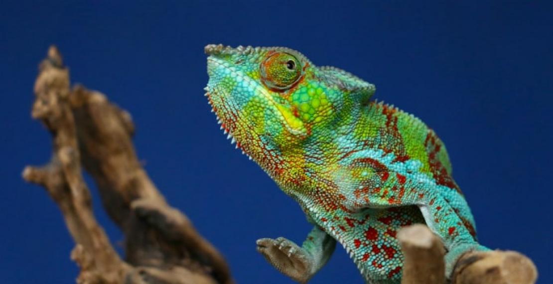kameleon-informacje-i-ciekawostki