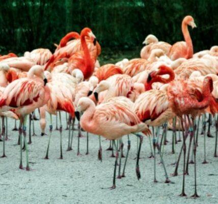 flamingi-informacje-i-ciekawostki