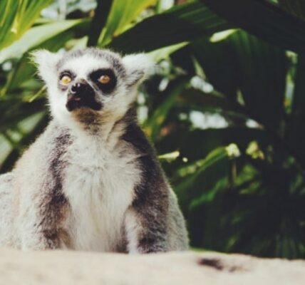 lemury-informacje-i-ciekawostki