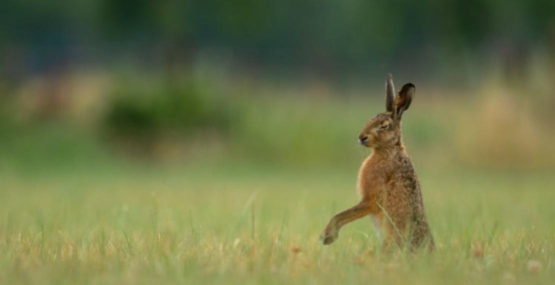 zajac-informacje-i-ciekawostki