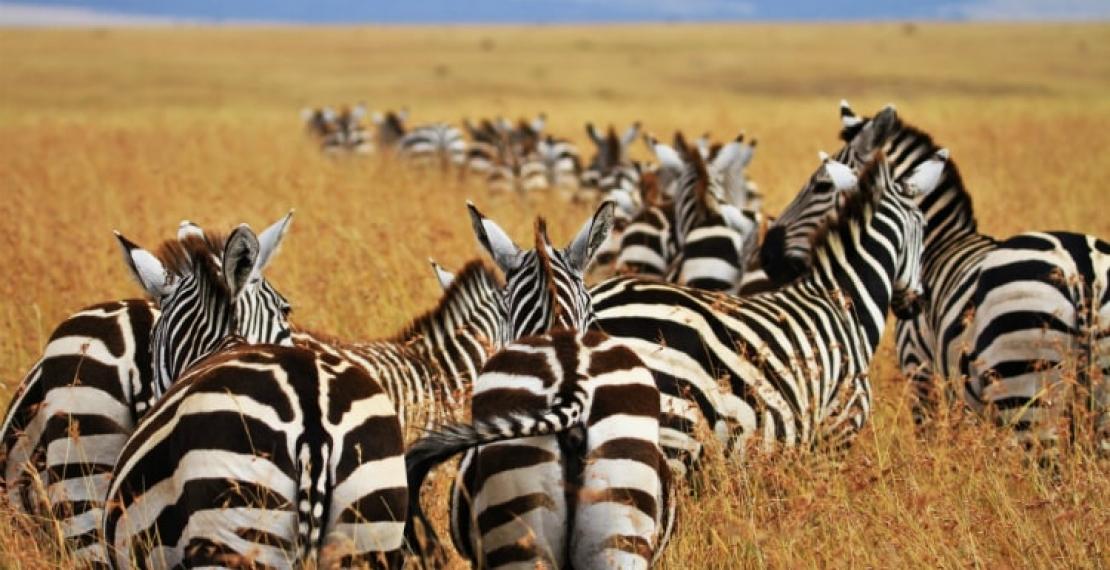 zebra-informacje-i-ciekawostki