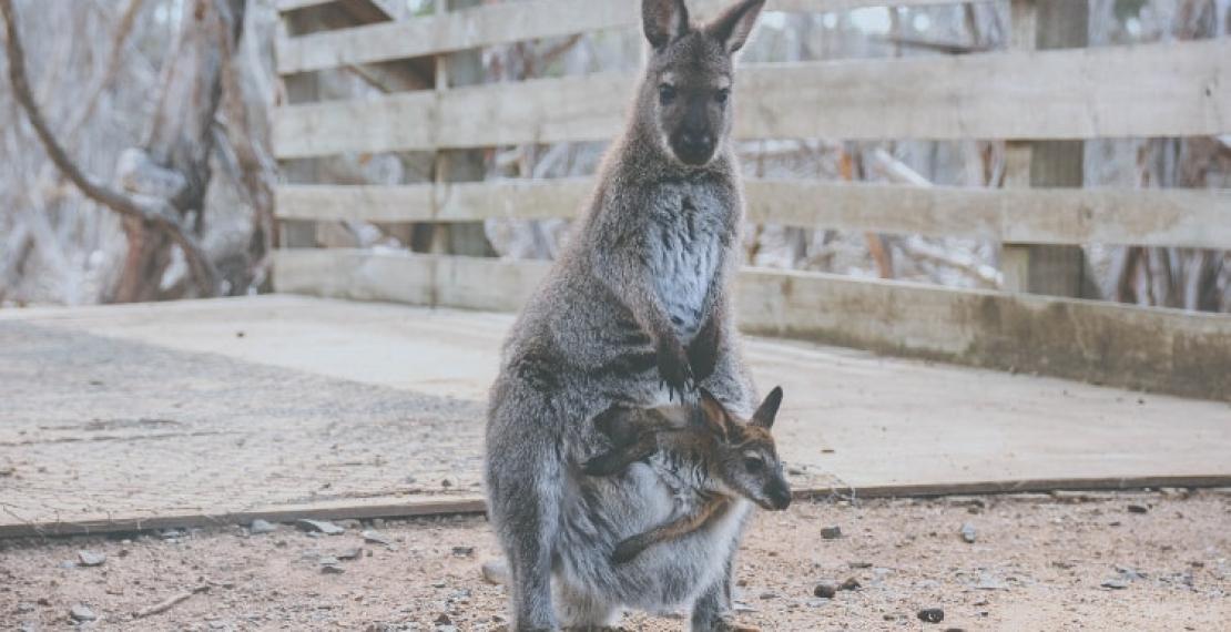 kangury-–-skoczni-mieszkancy-australii