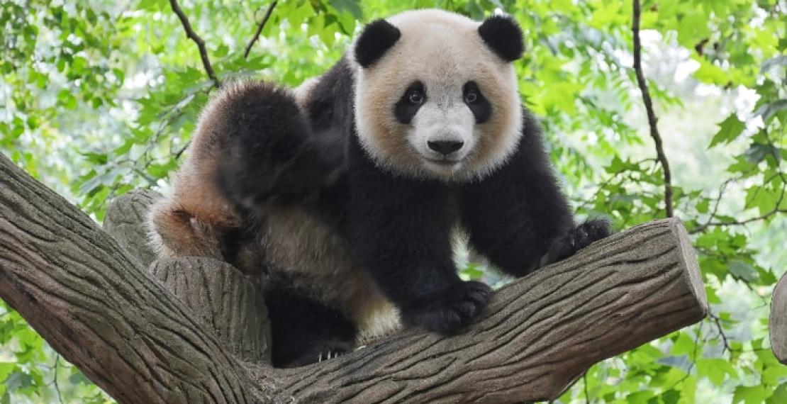 panda-wielka-–-informacje-i-ciekawostki
