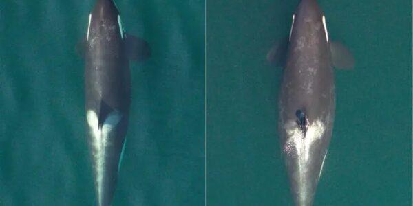 trzy-krytycznie-zagrozone-orki-sa-w-ciazy-–-informuja-naukowcy