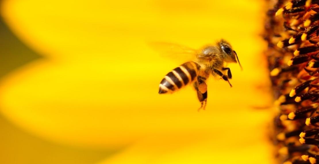 ciekawostki-o-pszczolach