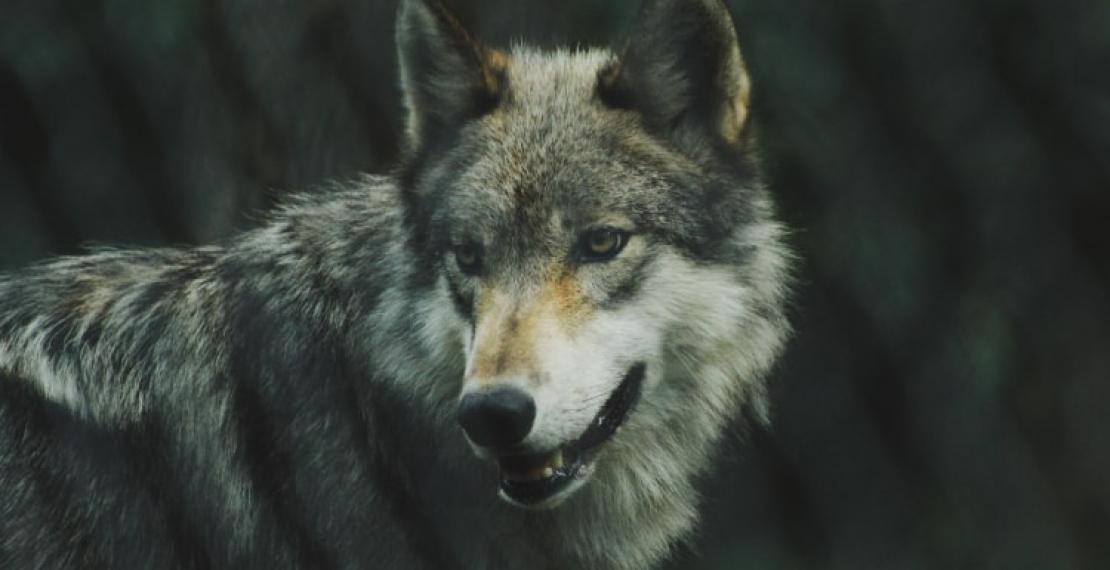 ciekawostki-o-wilkach