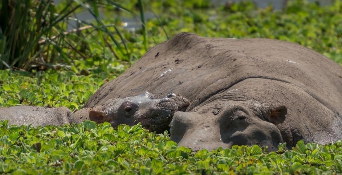 ciekawostki-o-hipopotamach