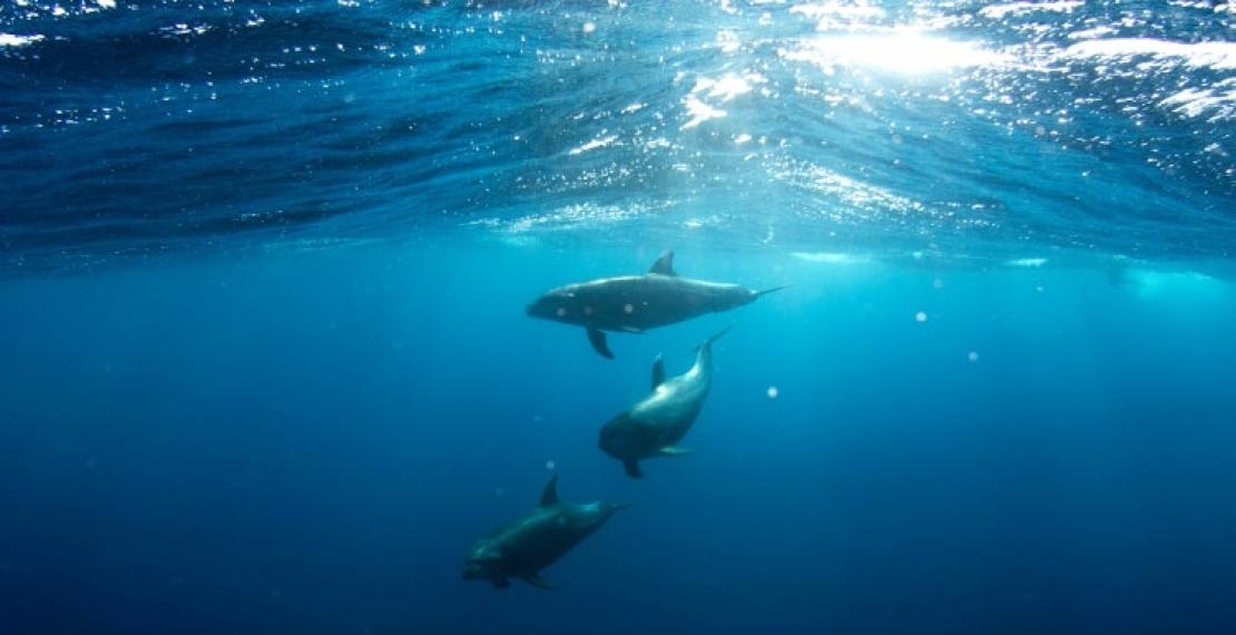 ciekawostki-o-delfinach